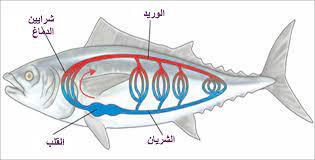 الاسماك لها دورة دموية واحدة مغلقة صح ام خطا