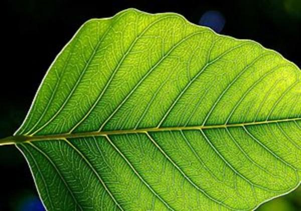 ماذا يحدث لو تمت عملية البناء الضوئي في مصنع بدل النبات
