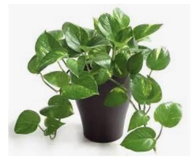اشرح سبب اللون الأخضر للنبات