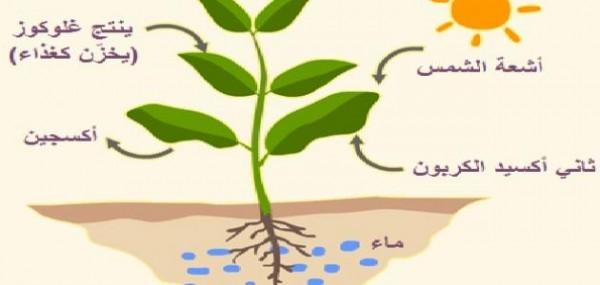 تفيد عملية البناء الضوئي النباتات في إنتاج