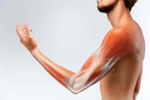 حزمة سميكة من الأنسجة تربط العضلات بالعظام هي