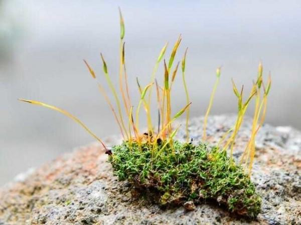 ينقص النباتات اللاوعائية وجود
