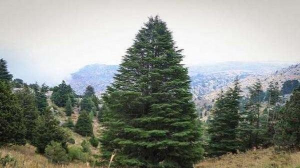 المنطقه الحيويه التى بها العديد من الاشجار المخروطيه دائمه الخضره