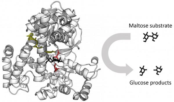 عند إجراء التحليل الكيميائي للإنزيمات ، ستجد أنها مكونة من وحدات تسمى