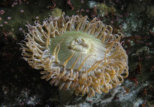 شقائق النعمان هي من الحيوانات المائية ذات تناظر جانبي