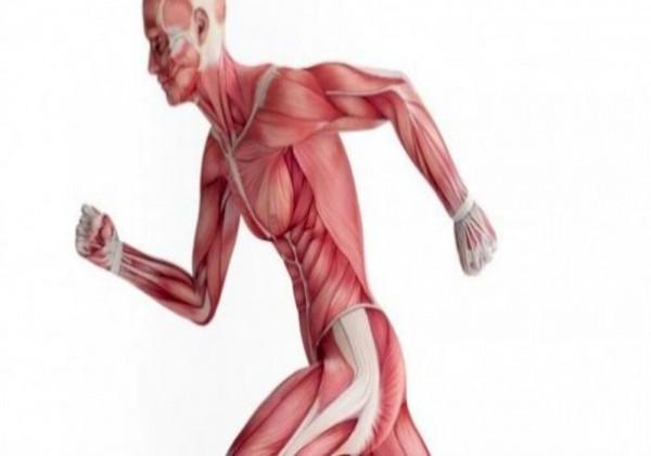 وضح أبرز الفروقات بين العضلات الإرادية والعضلات اللاإرادية