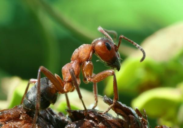 لماذا يعتبر النمل المقاتل شبه أعمى