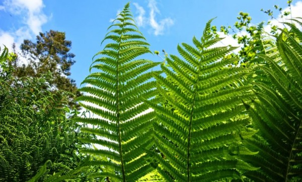 النباتات الوعائية لديها أشباه الجذور وأشباه الأوراق