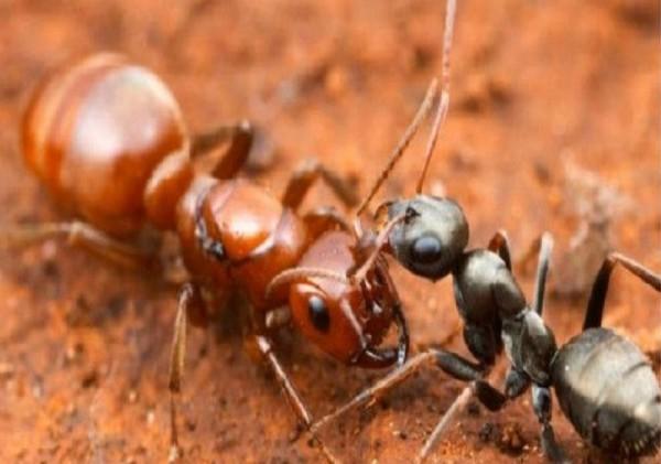 عدد النمل المقاتل في مستعمراته حوالي